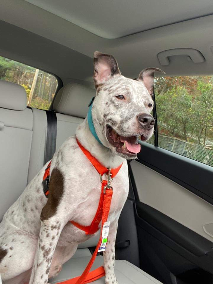 Tommy, an adopted Cattle Dog & American Staffordshire Terrier Mix in Worcester, MA