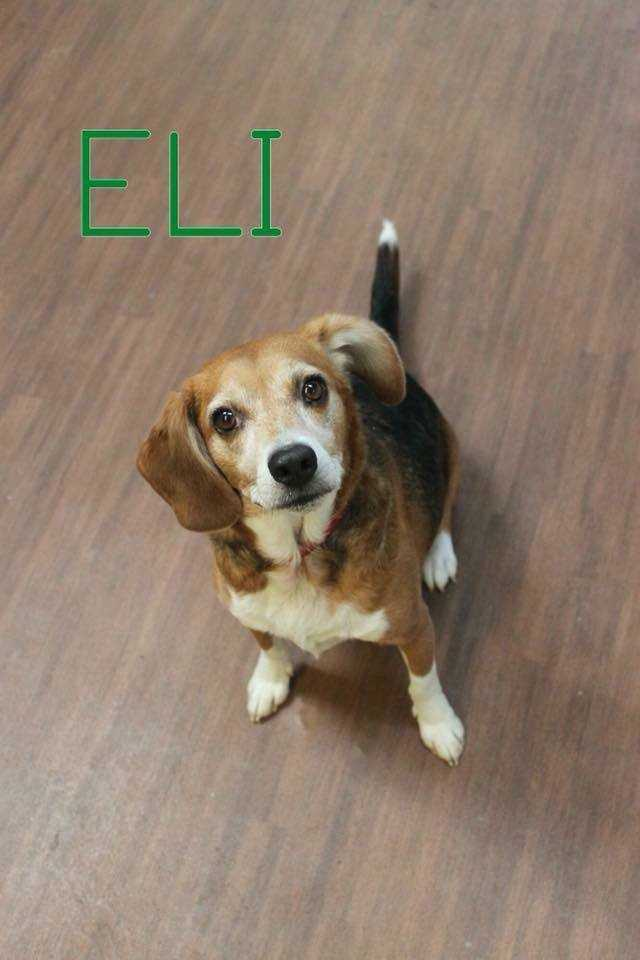 ELI, an adoptable Beagle in Dallas, PA
