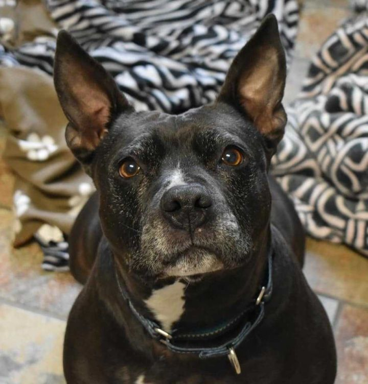 ELLIE, an adoptable Pit Bull Terrier & Boston Terrier Mix in Dallas, PA
