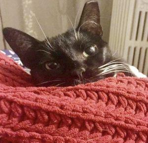 Paul Tuxedo Cat