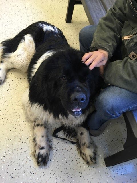Jack, an adoptable Newfoundland Dog in North Branch, MN