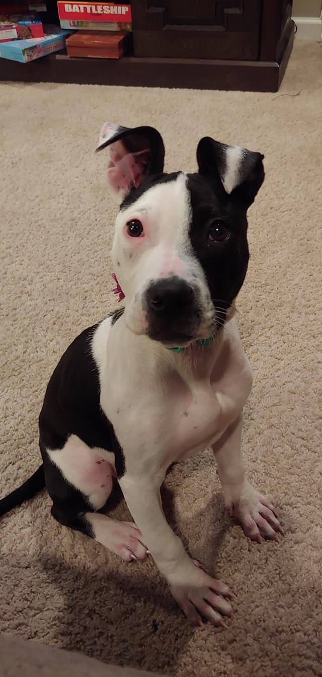 Ember, an adopted American Staffordshire Terrier & Pit Bull Terrier Mix in Saint Paul, MN