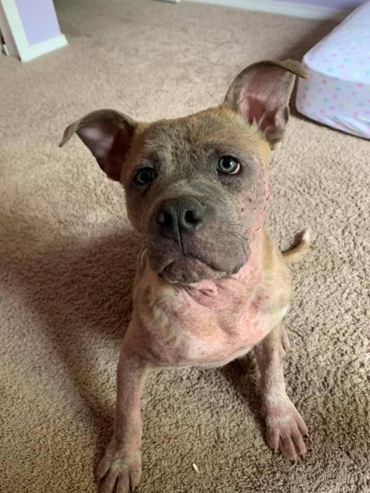 Mamoa, an adopted American Staffordshire Terrier & Pit Bull Terrier Mix in Saint Paul, MN