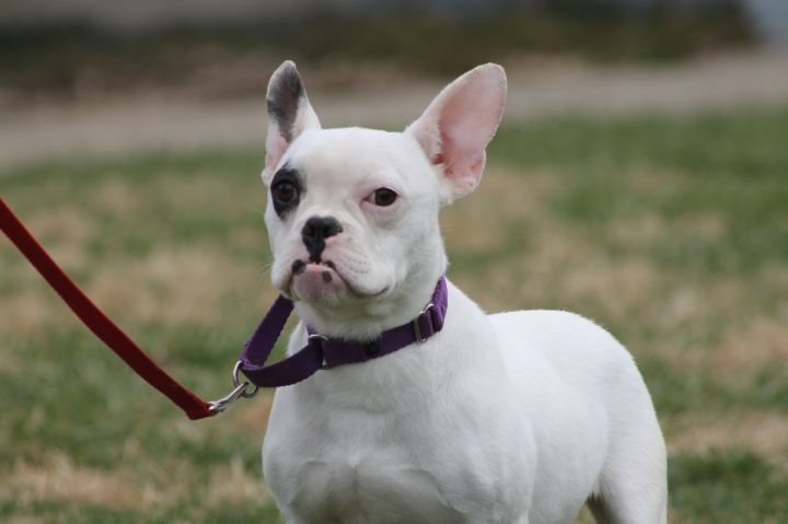 Franny, an adopted French Bulldog & English Bulldog Mix in Russellville, OH