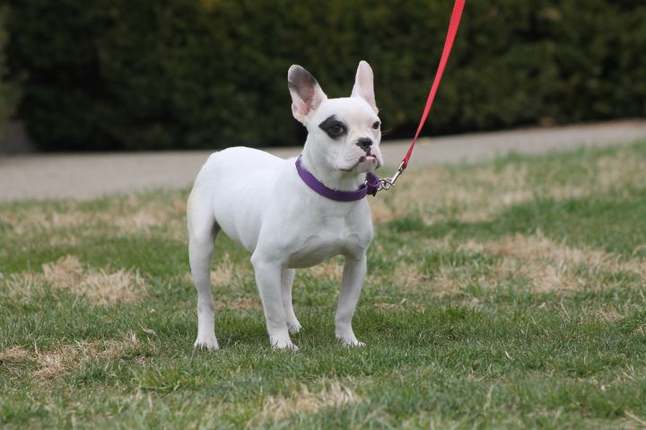 Franny, an adoptable French Bulldog & English Bulldog Mix in Russellville, OH