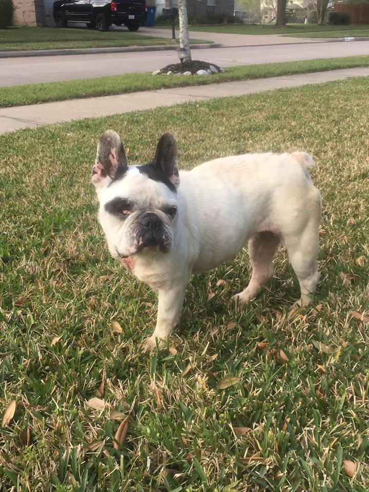 Dog For Adoption Lucy Lou A French Bulldog In Van Vleck Tx