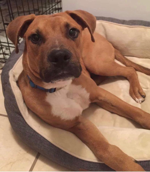 Valentino, an adopted Boxer Mix in Warner Robins, GA