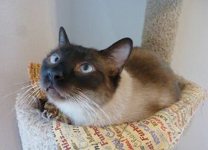 Lucky - Cross-Eyed Seal Point Siamese