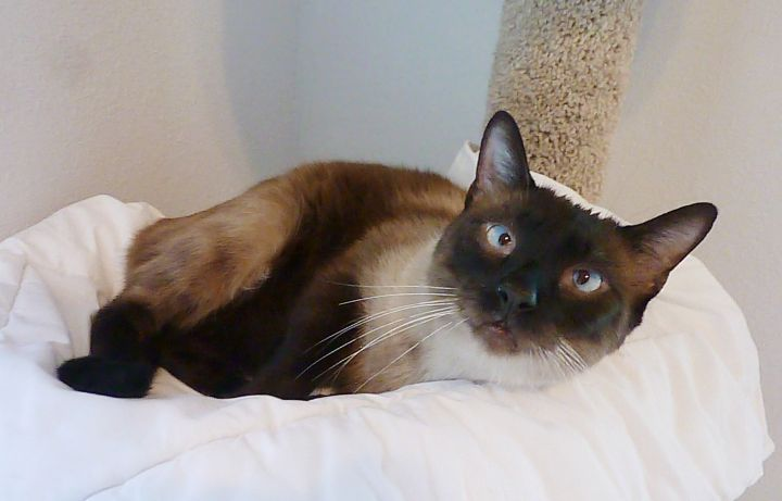 Lucky - Cross-Eyed Seal Point Siamese 3