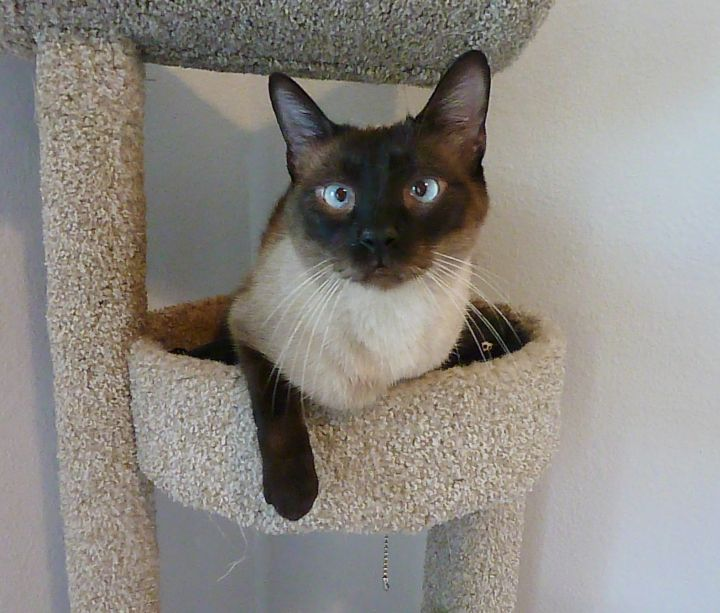 Lucky - Cross-Eyed Seal Point Siamese 1