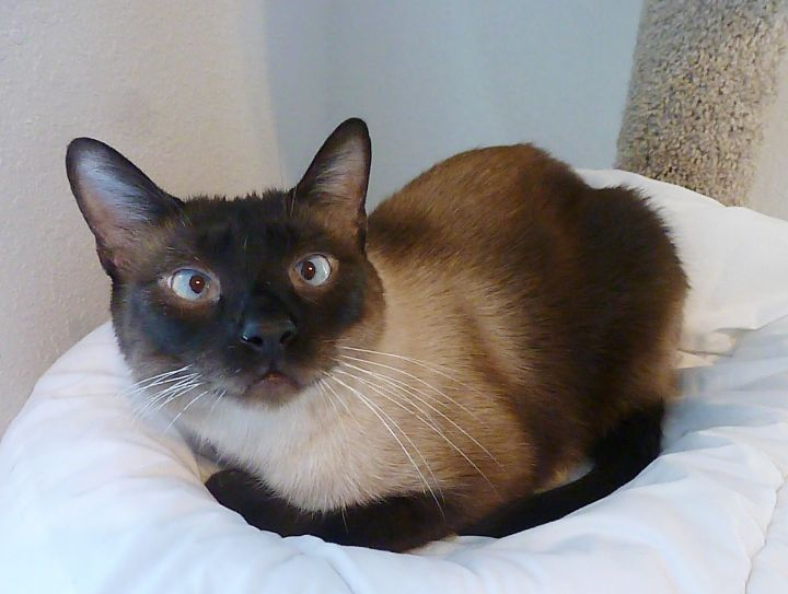 Lucky - Cross-Eyed Seal Point Siamese 4