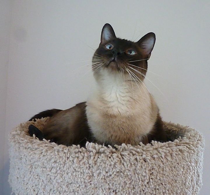 Lucky - Cross-Eyed Seal Point Siamese 5