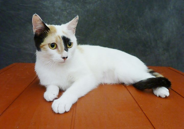 Freya - Young Tripod Calico 1