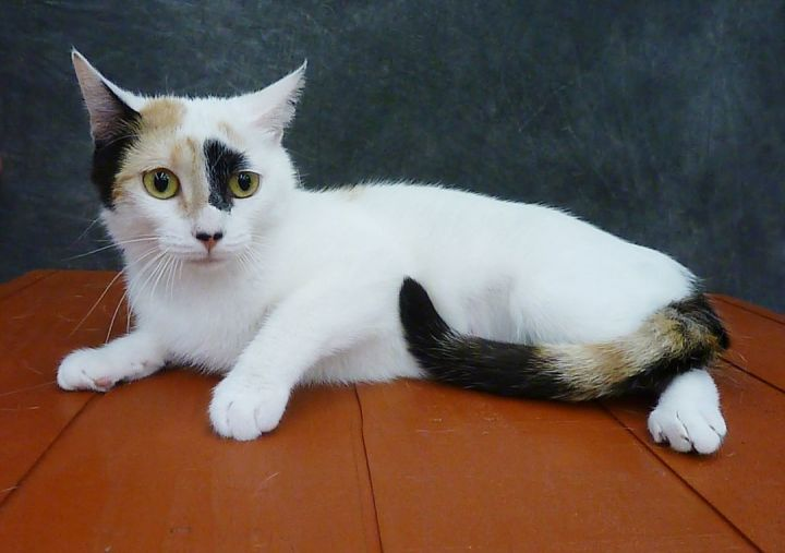Freya - Young Tripod Calico 5