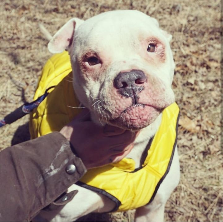 Dexter, an adopted American Bulldog in Detroit, MI