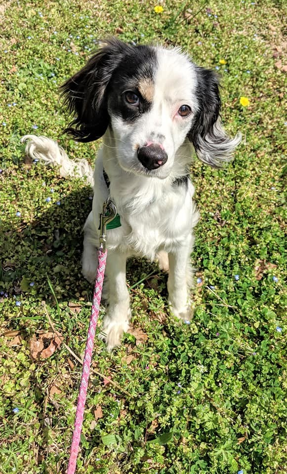 Pickle, an adopted Cocker Spaniel Mix in Cumming, GA