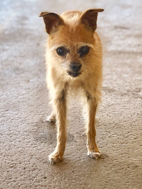 Clementine, an adoptable Chihuahua & Pomeranian Mix in Acton, CA