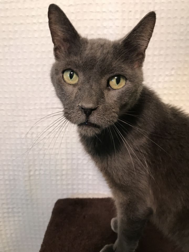 Ivan, an adopted Domestic Short Hair in Pompano Beach, FL