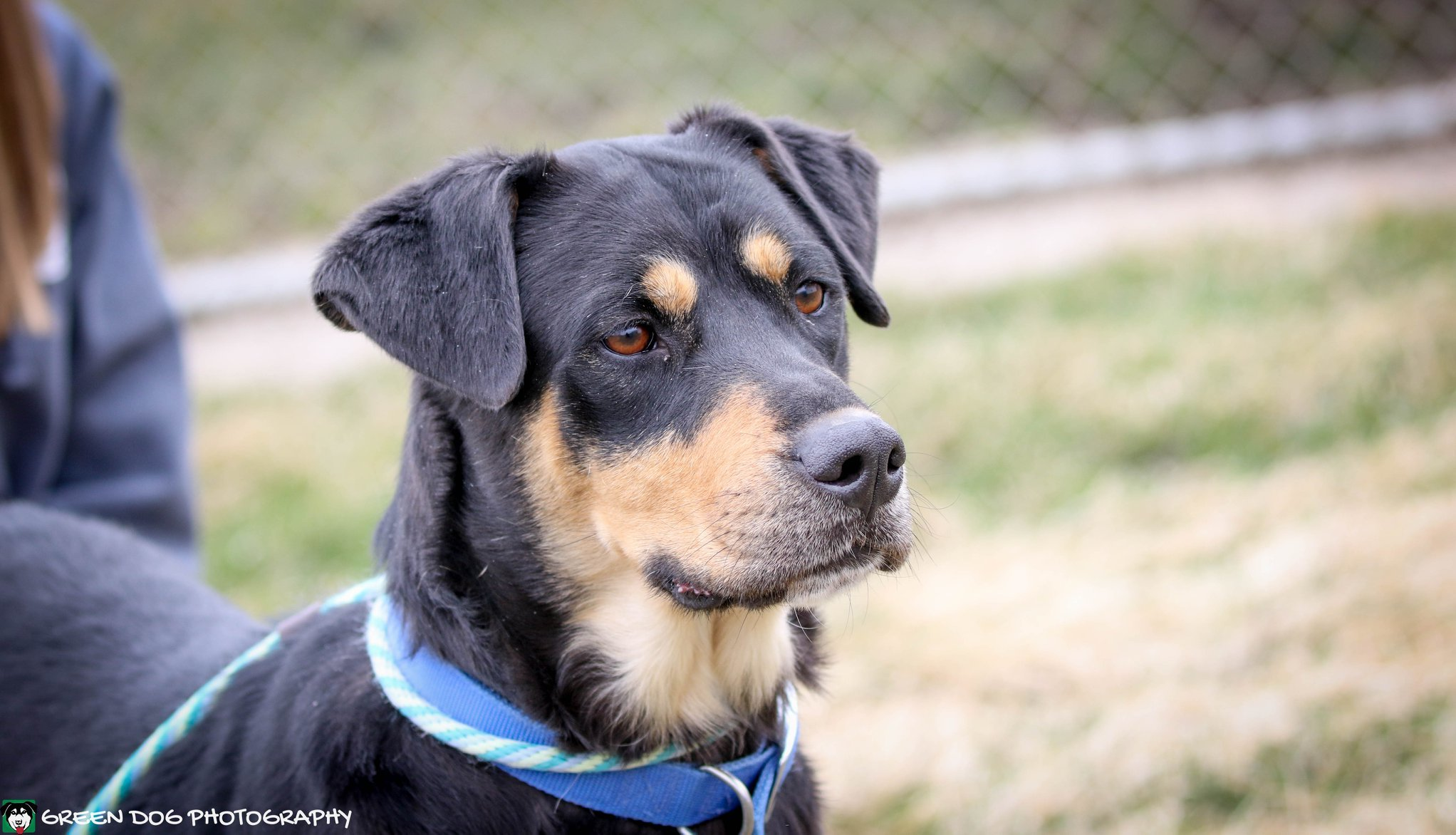 Repo, an adoptable Rottweiler Mix in Lake Odessa, MI