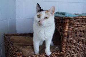 Treble is a sweet but shy girl who enjoys the company of other cats and is beginning to seek attent