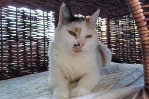 Treble Calico Cat