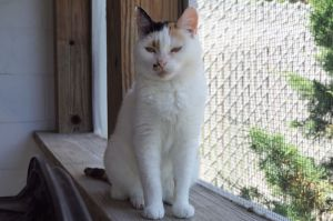 Treble is a sweet but shy girl who enjoys the company of other cats and is begi