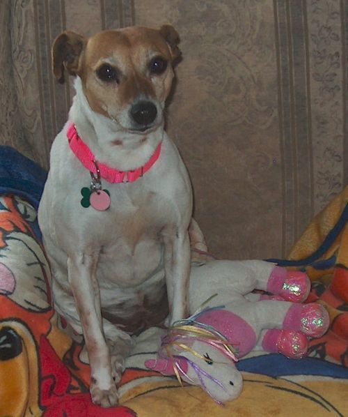 Sissy, an adopted Jack Russell Terrier in Toronto, ON