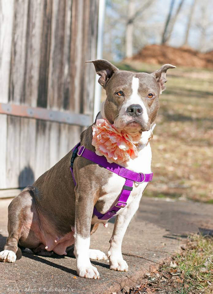 Jenna, an adoptable Pit Bull Terrier in Durham, NC