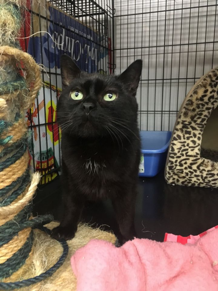 Cleo, an adoptable Domestic Short Hair in Kenora, ON