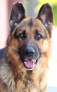 Dog For Adoption Gruff Von Grundhof A German Shepherd Dog In Los