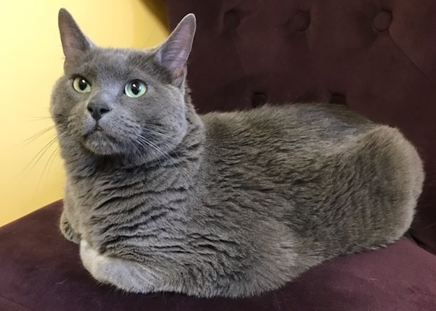 Cat For Adoption Duncan Adoption Pending A Russian Blue Domestic Short Hair Mix In Waverly Ia Petfinder