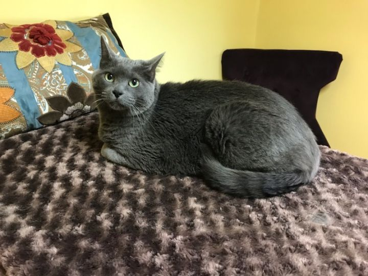 Duncan, an adoptable Russian Blue & Domestic Short Hair Mix in Waverly, IA