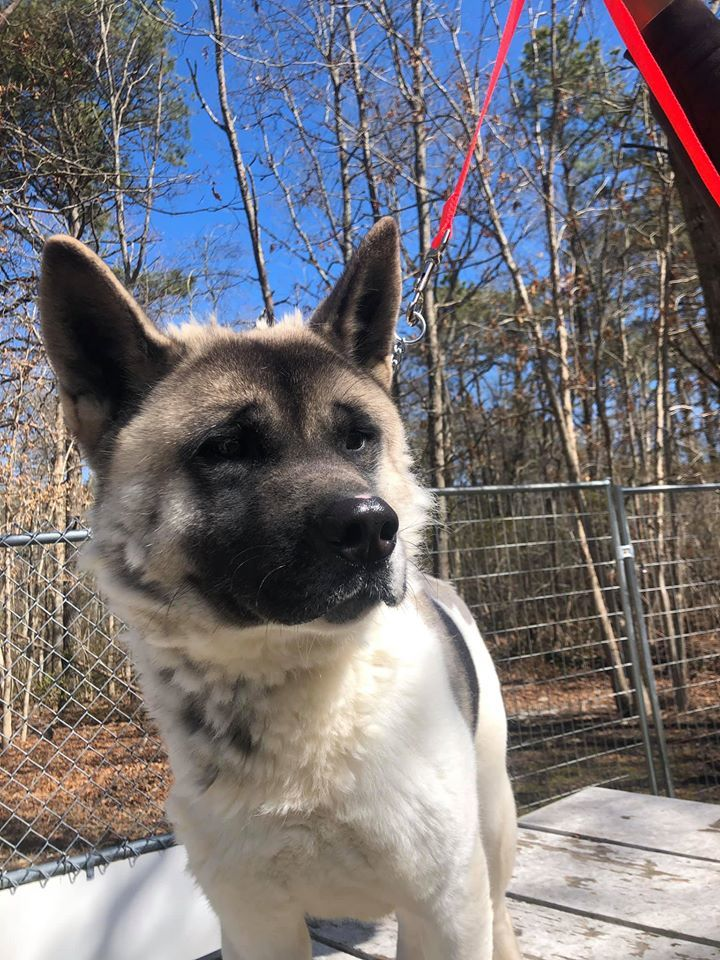 Lilly, an adoptable Akita in Toms River, NJ