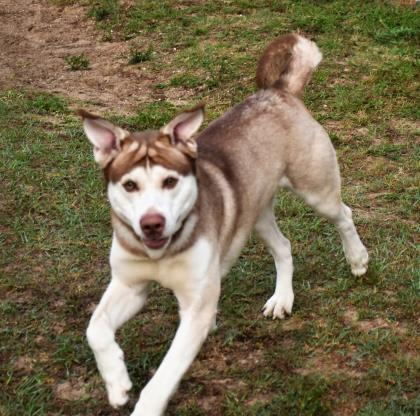 d5cb6dc7c ... FL 41238910 - Available 4/10, an adoptable Siberian Husky Mix in  Inverness, ...