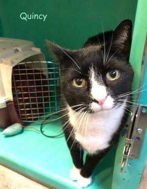 QUINCY Meet QUINCY a big sweet friendly tuxie boy with a baritone meow Poor QUINCY was left behind
