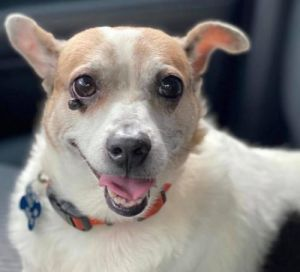 Harlan is a precious little rat or jack russell terrier mix that found himself on the streets in Gal