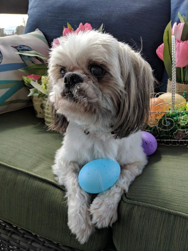 Dog For Adoption Bear A Shih Tzu In Louisville Ky Petfinder