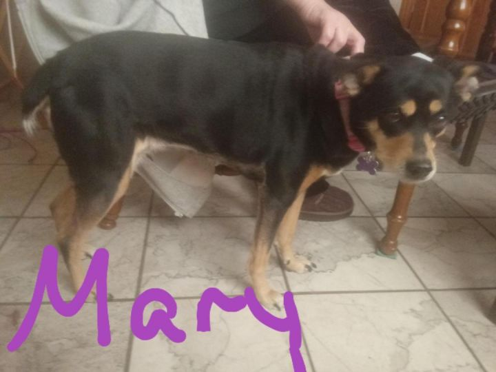 Mary, an adoptable Miniature Pinscher Mix in Maumee, OH