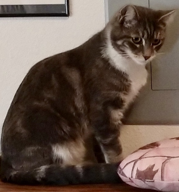Link, an adopted Tabby in Buhl, ID
