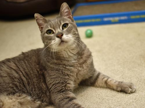 Peanut, an adopted Tabby & Domestic Short Hair Mix in Springfield, OR