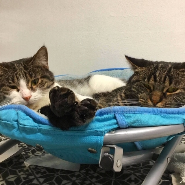 Hatti and Bobbi Jean, an adoptable Domestic Short Hair in Chicago, IL