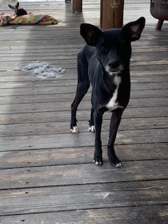 Whisper, an adopted Chihuahua & Whippet Mix in Ennis, MT