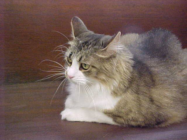 Abigail, an adopted Domestic Medium Hair Mix in Columbus, IN