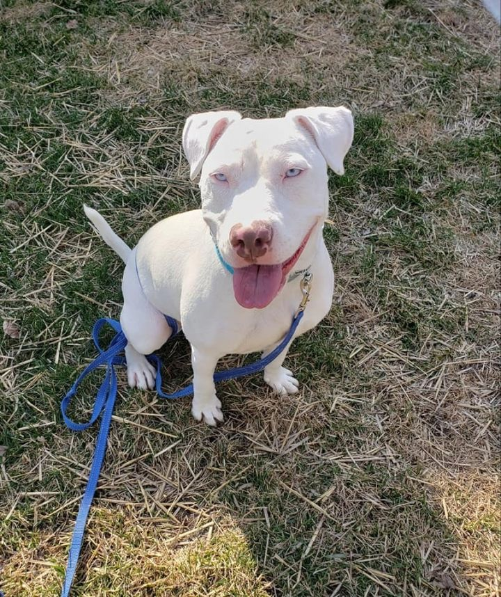 Marshmello, an adopted American Staffordshire Terrier & Pit Bull Terrier Mix in Saint Paul, MN