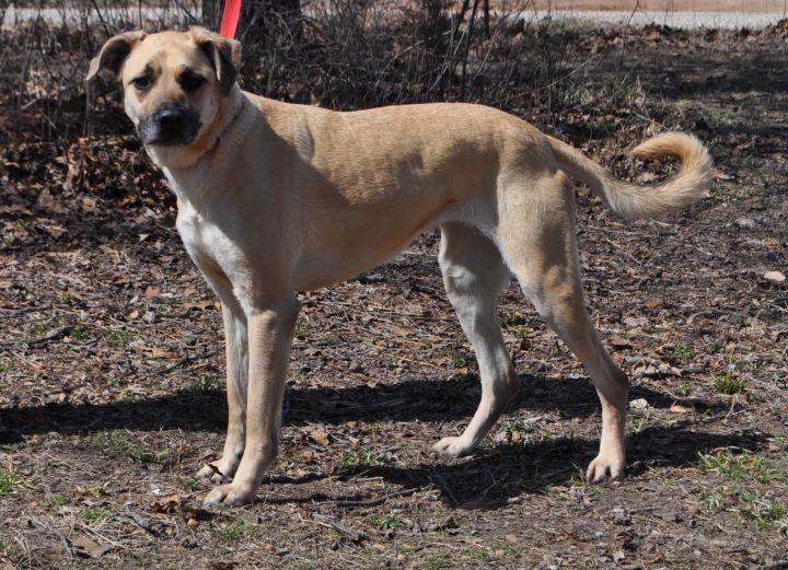 Dog for adoption - Mimsy, a Neapolitan Mastiff & Shepherd Mix in