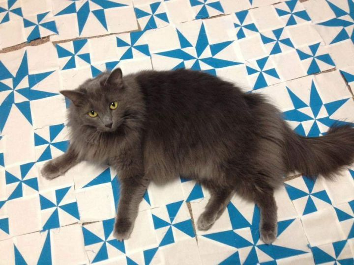 Cat for adoption - Smokey, a Domestic Long Hair & Maine Coon Mix in