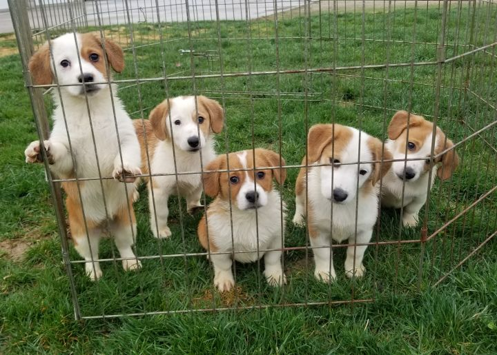 """Corgle"" puppies 1"