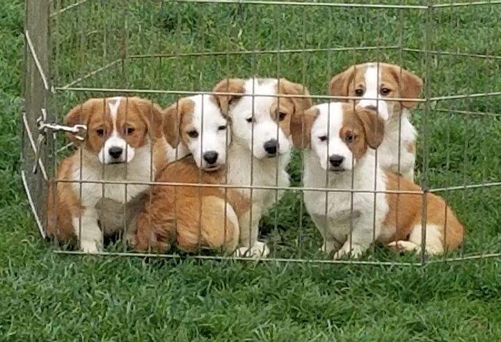 """Corgle"" puppies 2"