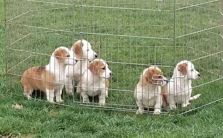 """Corgle"" puppies 3"