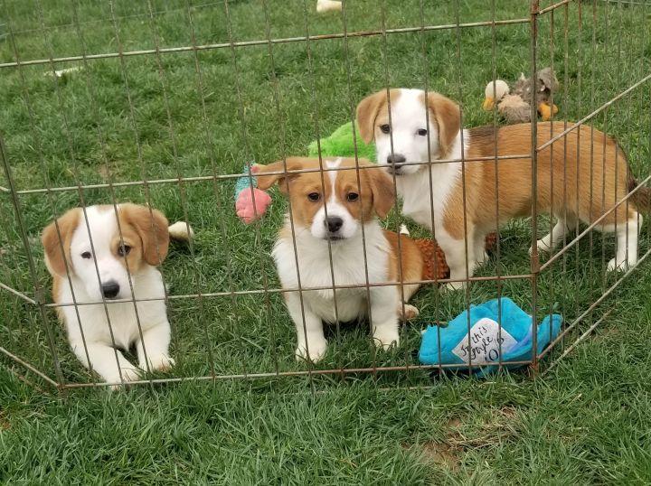 """Corgle"" puppies 4"